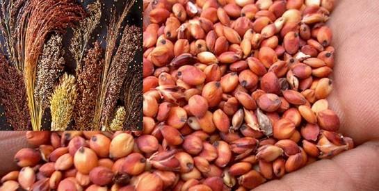 Le sorgho: aliment spécifique des diabétiques