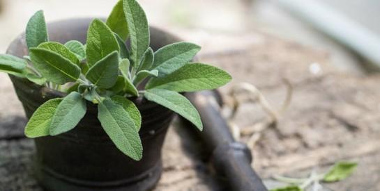 La sauge: une solution naturelle contre vos différents problèmes de santé
