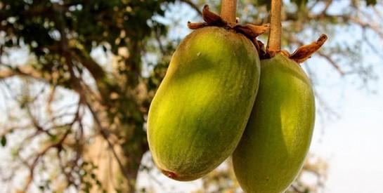 Les écorces du baobab pour déboucher vos trompes