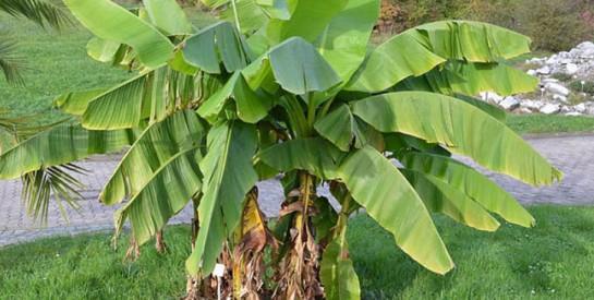 Comment éliminer les pellicules avec les feuilles de bananier ?