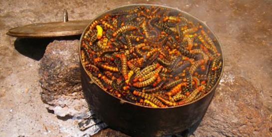 La chenille du congo, un excellent remède contre la malnutrition...