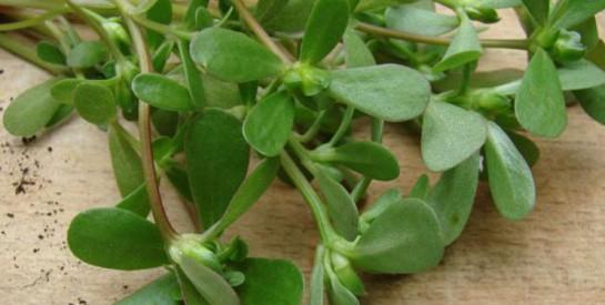 Le pourpier : considéré comme mauvaise herbe et pourtant, une plante aux multiples bienfaits