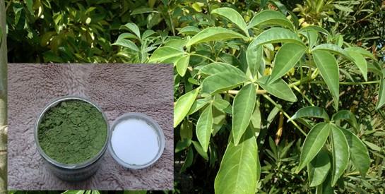 La Poudre de Feuilles de Baobab : un ingrédient clef pour des cheveux en pleine santé