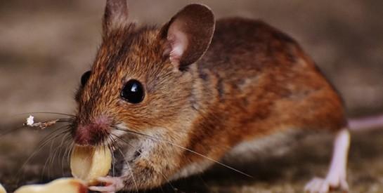 Voici comment vous débarrasser naturellement des souris de vos maisons