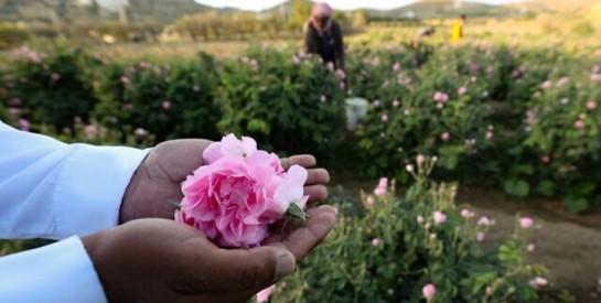 En Arabie saoudite, une ville fleurie de roses au milieu du désert